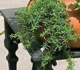 (HESA)~WINTER SAVORY~Seeds!!!~~~~Satureja montana!
