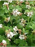 4 Bare Root of Geranium Macrorrhizum 'Ingwersen's Variety' - Ingwersen's Bigroot