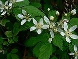 Trailing Pacific Blackberry - Rubus ursinus - 1 Bare Root Plant - Blackberries - By Yumheart Gardens