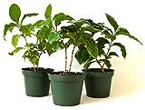 9Greenbox Arabica Coffee Plant Pot Set, 3 Inch x 4 Inch, (Pack of 3)