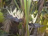 bird of paradise GIANT WHITE flower, house plant 7 seeds