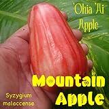 NEW RED Mountain Apple Fruit Tree Syzygium malaccense Ohi'a Ai Apple LIVE sml Plant