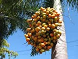 Foxtail Palm (Wodyetia bifurcata) Seeds (36)