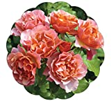 Tequila Supreme Rose Bush Vivid Orange Flowers All Summer! | Heat And Humidity Tolerant Shrub Rose Easy To Grow | 4 Inch Container Potted