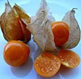 "Physalis edulis live plant 6+"" (Inca Pineapple, Golden Berry, Cape Gooseberry)"