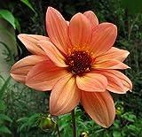 Classic Poeme Peony Flowering Dahlia - 2 Bulb Clumps