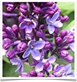 LILAC Purple Syringa Vulgaris Flower Shrub Bush Tree Impressive Fragrant Seeds