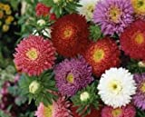 CHINA ASTER POWDERPUFF MIX FLOWER SEEDS