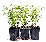 "Live Sage 'Hot Lips' Salvia - 4"" Pot House Plants Gift Holiday Easy Care Hardy"