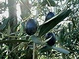 New Olive , OLIVE TREE , Fruit , Olea Europaea , 15 SEEDS !