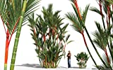 20 Seeds Lipstick Palm Cyrtostachys Renda Tree Red sealing wax palm
