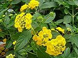 Live New Gold Lantana aka Lantana 'New Gold' Patio Tree Plant Fit 05 Gallon Pot