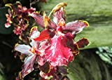 Odontocidium wildcat keep in partial to full shade.: Orchid