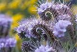Purple Tansy Fiddleneck- 250 Seeds