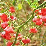 Capsicum Baccatum Bishop's Crown Pepper 100 Seeds