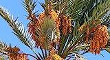 True Date Palm, Phoenix Dactylifera, Tree 5 Seeds