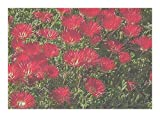 Drosanthemum speciosum - Red ice-plant - 10 seeds