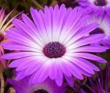 ICE PLANT PURPLE STARDUST Delosperma Floribunda - 200 Bulk Seeds