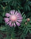 Centaurea Dealbata Perennial Seeds