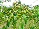 1 Spondias Dulcis Tropical Fruit Tree Rare