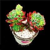 """Succulent Live Plant """"Echeveria blue apple""""#035"""