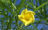 Yellow Oleander Tree Seed ,Thevetia Peruviana, Lucky Nut - Rare Tropical Plant