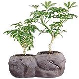 Brussel's Live Hawaiian Umbrella Indoor Bonsai Tree in Rock Pot (2 Pack) - 5 Years Old; 5' to 8' Tall