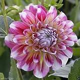 Dahlia Decorative Hawaii (2 Tuber) Great Cut Flowers,Bloom Summer to fall