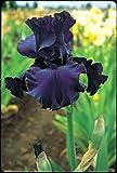 One Tall Bearded German Iris Rhizome/Bulb ~ Dusky Challenger ~Dark Purple/Black Blooms