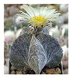 Astrophytum myriostigma v. potosinum - cactus - 15 seeds