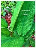 Precious Turmeric / Curcuma Longa / Haldi Fresh - 5 Rhizomes For Growing