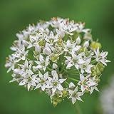 Burpee Garlic Chives Seeds 300 seeds