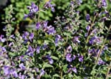 """(12 Plants Classic Pint) Nepeta x faassenii Walker's Low Catmint is Covered in Sprays of 6"""" Tall, Pale Lilac to deep Violet Flower Spikes Beginning Late Spring and into The Fall."""