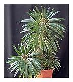 Pachypodium lamerei - Madagascar palm - 5 seeds