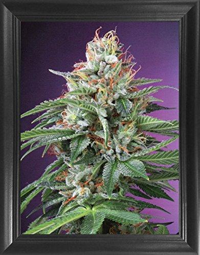 Marijuana Plant Poster Framed 3D Wall Art – OG Kush Purple Haze Indica Weed Ganja 3D Lenticular Posters -14.5x18.5 -...