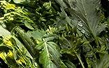 "500+ Broccoli Raab (Rabe, Rapini) Seeds-""Del Trasimeno"""