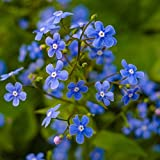 Myosotis Flower Garden Seeds - Sylvatica Forget Me Not - 1 Oz - Perennial Flower Gardening Seeds - Myosotis sylvatica - Forget Me Not