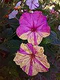 Perennial Mixed Colors Mirabilis Jalapa (Four O'clock) Self-seed Flower 100 Seeds
