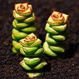 Live Succulent Plant Mini Succulents (Crassula perforata ssp. kougaensis)
