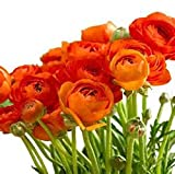 Orange French Peony Ranunculus - 12 Largest Size Corms