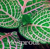 New Fittonia verschaffeltii 100+Seeds - 5