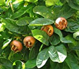 Showy Medlar, Mespilus germanica, Tree Seeds (Edible, Fall Color, Hardy) 60 seeds