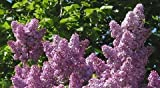 Purple Lilac 25 Seeds - Syringa vulgaris - Shrub/Tree by Hirt's Gardens
