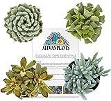 "Altman Plants Assorted Live Fuzzy Succulents Fun mini plants to pet, 2.5"", 4 Pack"