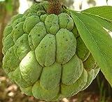Annona Squamosa - Sugar Apple - Rare Tropical Plant Tree Seeds (20)