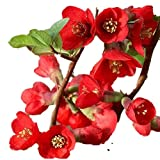 """Texas Scarlet Flowering Quince - 2 1/2"""" potted Chaenomeles japonica 'Texas Scarlet' - 6""""- 12"""" Tall Healthy Shrub/Bush - 3 Pack by Growers Solution"""