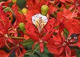 Delonix Regia - Royal Poinciana - Rare Tropical Plant Tree & Bonsai Seeds (10)