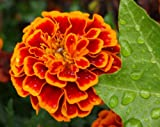 Heirloom 300 Seeds Tagetes Patula African Dwarf Marigold Signet Pot Orange Red Flower Fresh Bulk B2135
