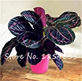 Seeds Shopp 50 Pcs Purple Calathea Seeds Air Freshening Plants Rare Beautiful Flowers Seeds Office Desk Bonsai For Flower Garden Ornaments