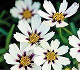 New Heirloom Star Cluster Perennial White Purple Coreopsis Flower 20+ Seeds